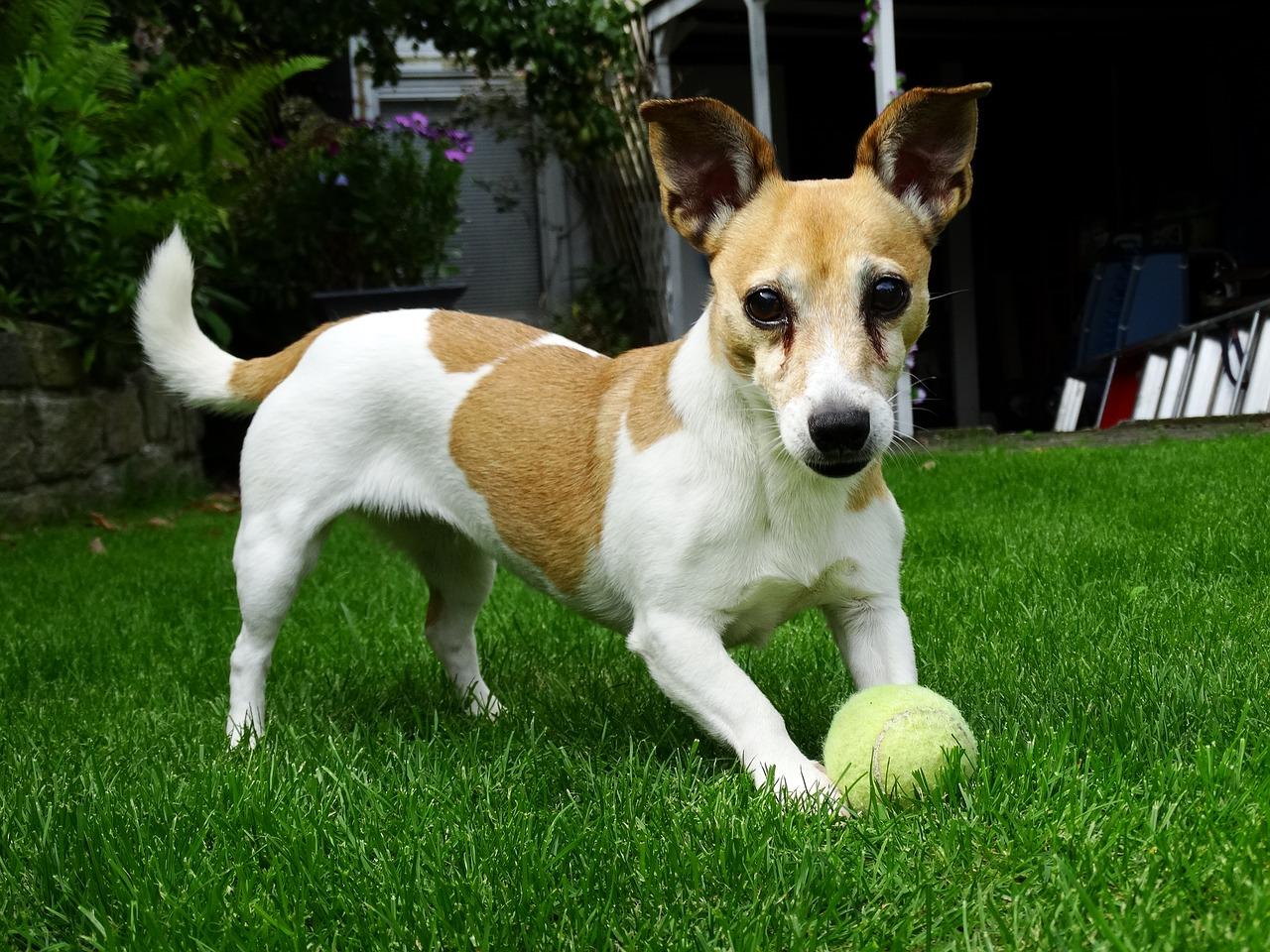 doggy, jack russell, terrier