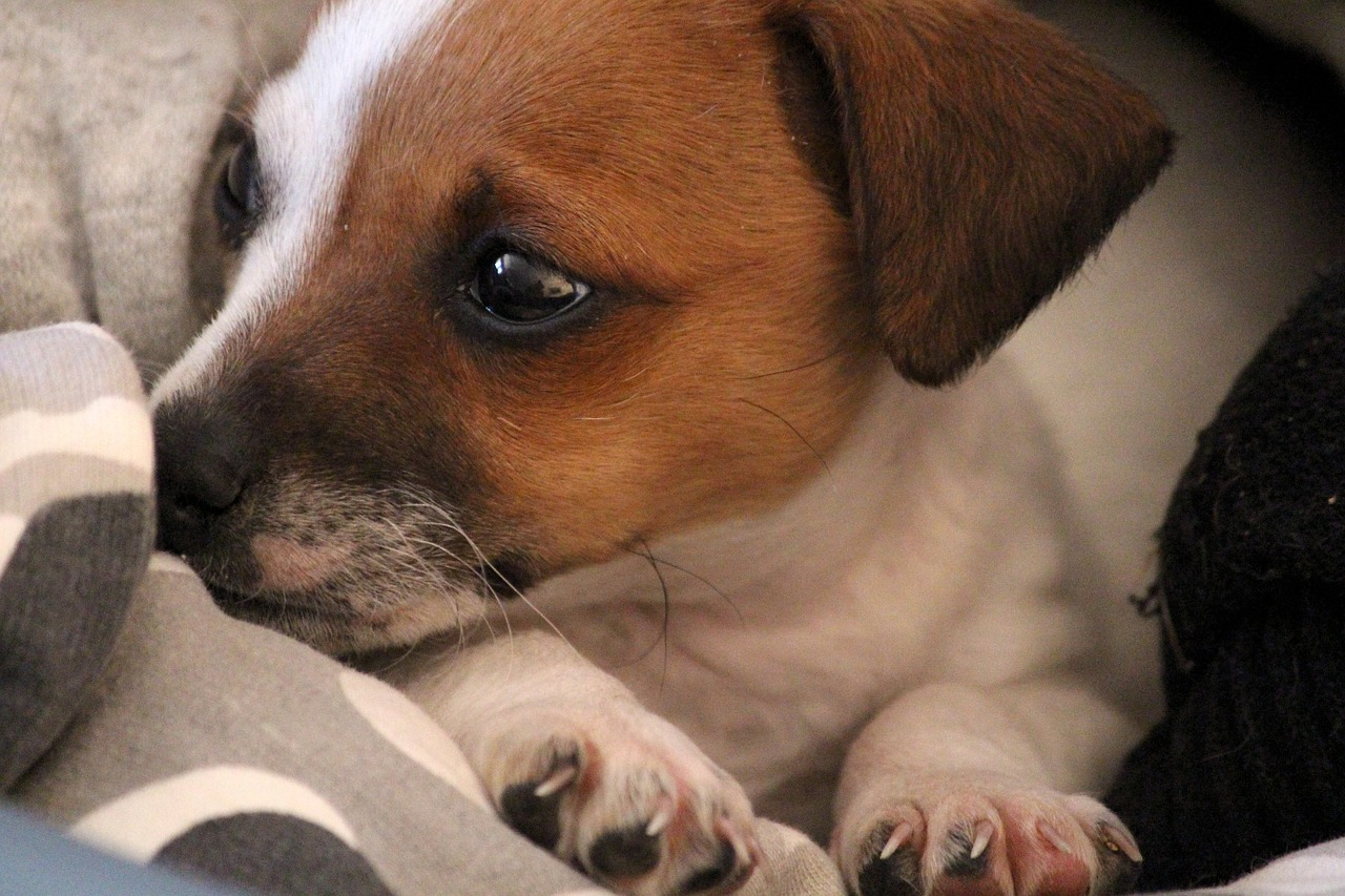 dog, puppy, jack russell